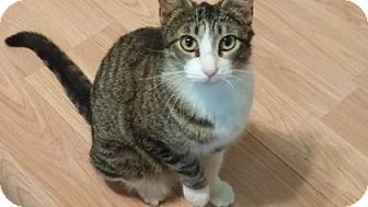 Domestic Shorthair Kitten for adoption in Bulverde, Texas - Kneesox