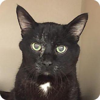 Domestic Shorthair Cat for adoption in Palatine, Illinois - KitKat