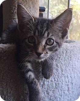 Domestic Shorthair Kitten for adoption in Gainesville, Florida - Yoko