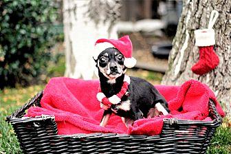 Chihuahua Mix Dog for adoption in Sacramento, California - Ela