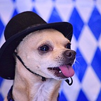 Chihuahua Mix Dog for adoption in Scottsdale, Arizona - Rocky