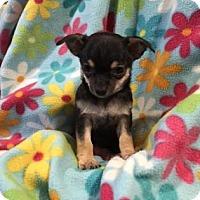 Adopt A Pet :: Zinnia - Chicago, IL