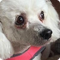 Adopt A Pet :: DeeDee - Des Moines, IA