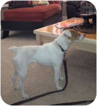 Jack Russell Terrier Dog for adoption in Scottsdale, Arizona - LUCAS