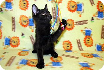 Domestic Shorthair Kitten for adoption in Orlando, Florida - Scooter
