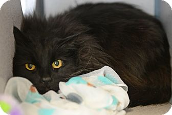 Domestic Longhair Cat for adoption in Gardnerville, Nevada - Maleficent