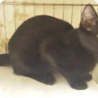 Adopt A Pet :: Night Walker - Holden, MO