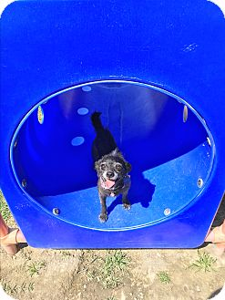 Poodle (Toy or Tea Cup)/Chihuahua Mix Dog for adoption in Ontario, California - Winifred