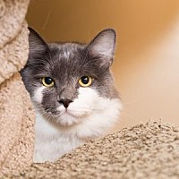 Domestic Mediumhair Cat for adoption in Palm Springs, California - McFluffin