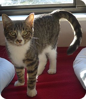 Domestic Mediumhair Kitten for adoption in Manning, South Carolina - Tiger