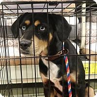 Adopt A Pet :: Koda - Irmo, SC