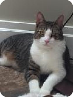 Domestic Shorthair Cat for adoption in East Hanover, New Jersey - Liz