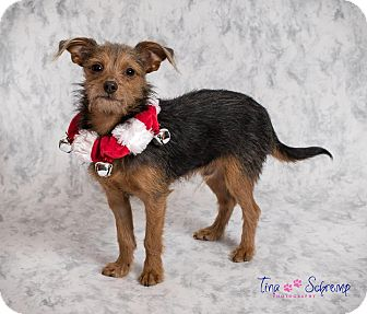 Yorkie, Yorkshire Terrier Mix Dog for adoption in Big Canoe, Georgia - Wrigley