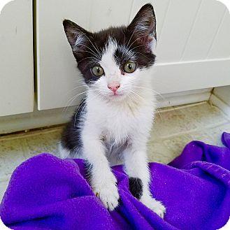 Domestic Shorthair Kitten for adoption in Smithtown, New York - Mistletoe