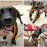 Adopt A Pet :: TIGER - Aurora, IL