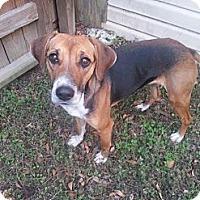 Adopt A Pet :: Velvet - Sugar Land, TX