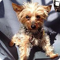 Adopt A Pet :: Itty Bitty - Osseo, MN