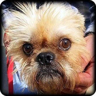 Brussels Griffon Dog for adoption in Denver, Colorado - TRACKER in Durango, CO.