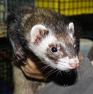 Ferret for adoption in Pinesville, Oregon - Donovan