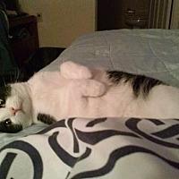 Domestic Shorthair Cat for adoption in Cincinnati, Ohio - Coconut