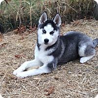 Adopt A Pet :: Topaz - Grafton, MA