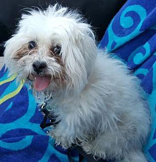 Maltese Mix Dog for adoption in Scottsdale, Arizona - Willow