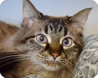 Domestic Longhair Cat for adoption in Des Moines, Iowa - Anna Belle