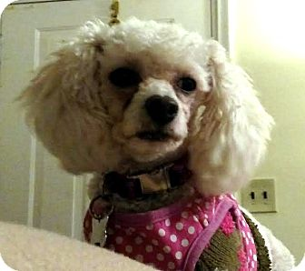 Poodle (Miniature) Mix Dog for adoption in Detroit, Michigan - Luna 3-Adopted!