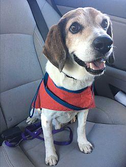 Beagle Mix Dog for adoption in White Settlement, Texas - Bob