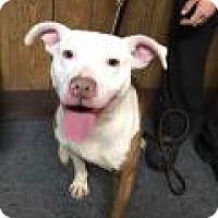 Adopt A Pet :: Shasta - New Albany, OH