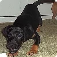 Adopt A Pet :: Ryme - Allentown, PA