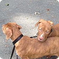 Adopt A Pet :: MIX BREED PUPPIES - Wanaque, NJ