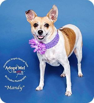 Basenji/Terrier (Unknown Type, Small) Mix Dog for adoption in Houston, Texas - Mandy