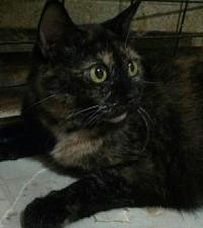 Domestic Shorthair Cat for adoption in Lexington, Kentucky - Angel