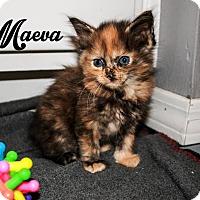 Adopt A Pet :: Maeva - Bentonville, AR