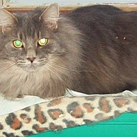 Domestic Longhair Cat for adoption in Chapman Mills, Ottawa, Ontario - CHARMANT