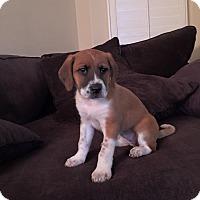 Adopt A Pet :: Noelle (Fran) - Phoenix, AZ