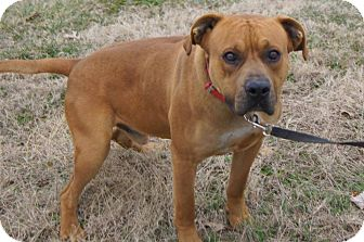 Mastiff/Labrador Retriever Mix Dog for adoption in North, Virginia - Buster