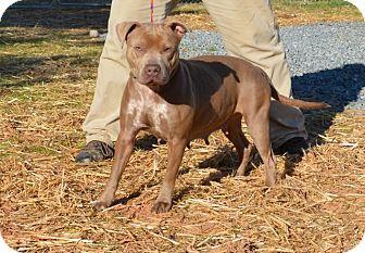 Pit Bull Terrier Mix Dog for adoption in Boston, Massachusetts - Reba