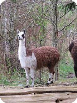 Llama for adoption in Quilcene, Washington - Jane