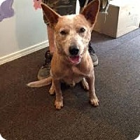 Australian Cattle Dog Mix Dog for adoption in Crocker, Missouri - Bruno