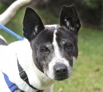 Shepherd (Unknown Type) Mix Dog for adoption in Asheville, North Carolina - Sugar Mama