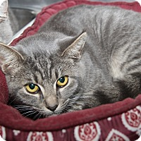 Domestic Shorthair Cat for adoption in Marietta, Ohio - Bert (Neutered)