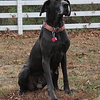 Great Dane Dog for adoption in Phoenixville, Pennsylvania - Sky