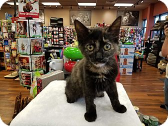 Domestic Mediumhair Kitten for adoption in Turnersville, New Jersey - Taylor