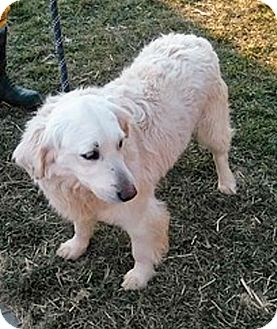 Golden Retriever Mix Dog for adoption in BIRMINGHAM, Alabama - T4 Amour