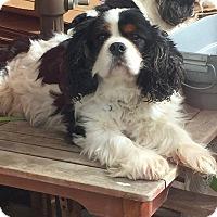 Adopt A Pet :: Sybelli - Lafayette, CA