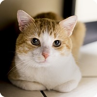 Adopt A Pet :: Dobby - Chicago, IL