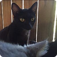 Adopt A Pet :: Sapphire - Floral City, FL