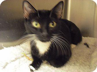 Domestic Shorthair Cat for adoption in Wickenburg, Arizona - Jasmine